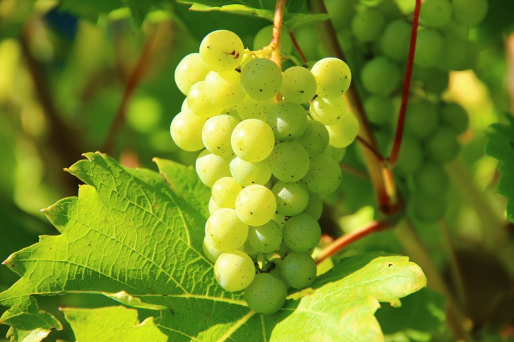 Vins : la récolte la plus faible depuis 1945