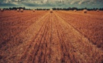 La récolte de blé en baisse de 25% en 2020